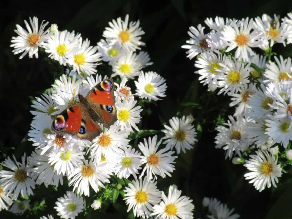 Herbstastern mit Schmetterling, Foto: Sabine Eggersglüß Herbst 2019