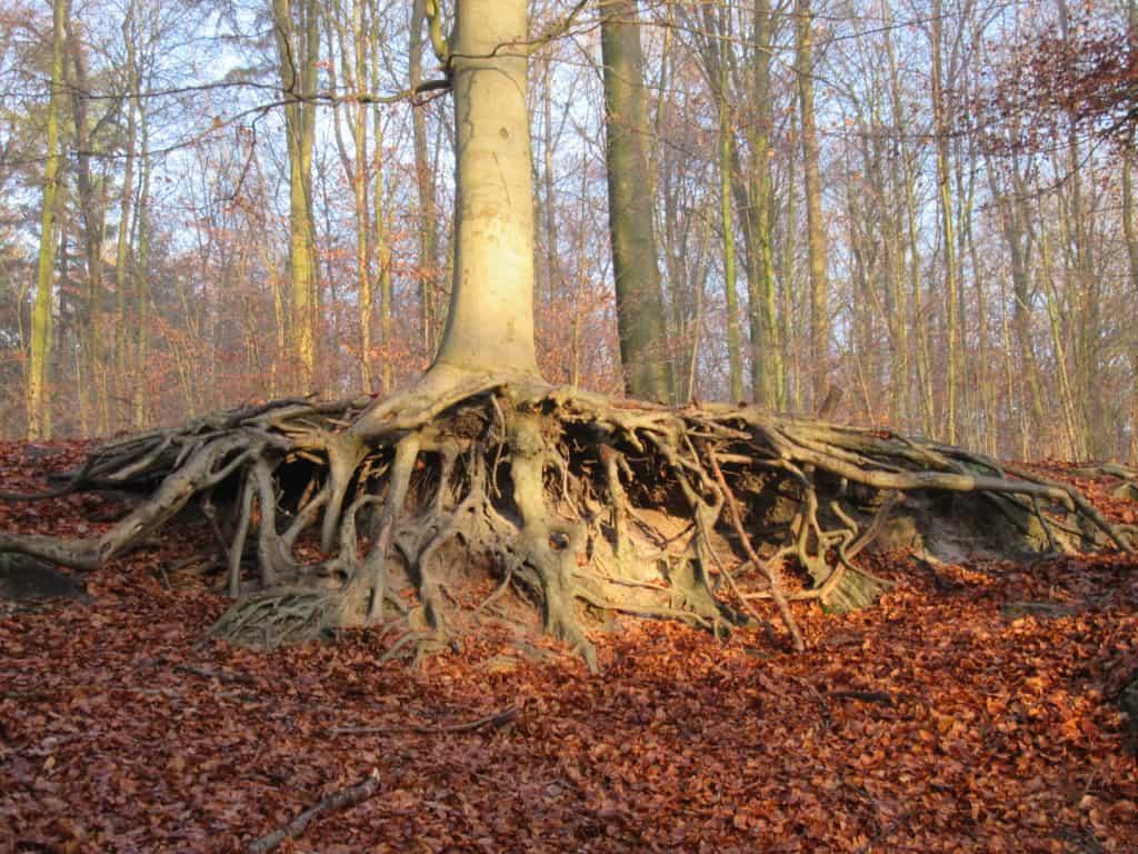Baumwurzeln   Foto: Sabine Eggersglüß